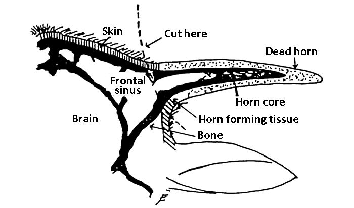 Line drawing of the anatomy of a horn