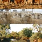 Photo montage of cattle, sheep and river